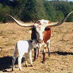 Butler Texas Longhorn