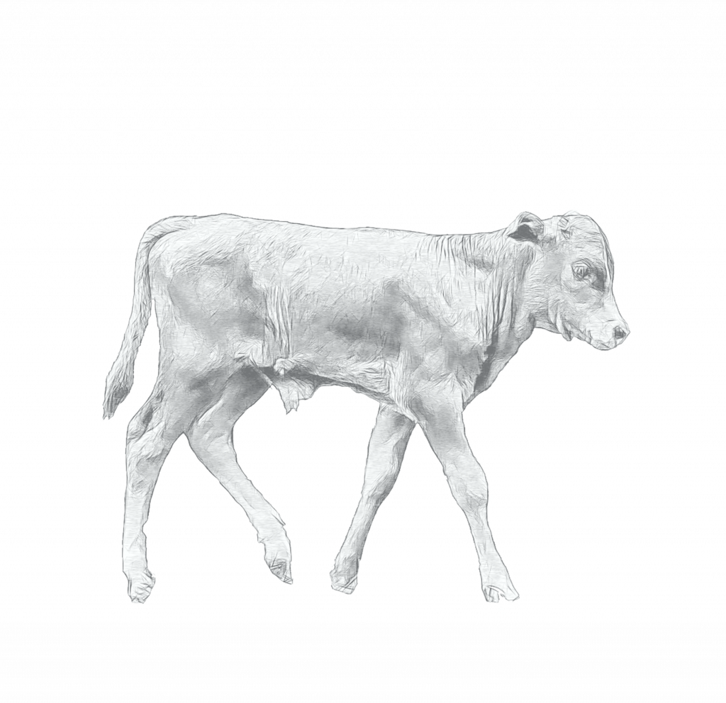 longhorn calf sketch